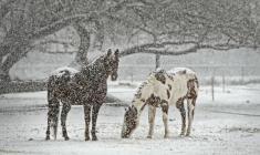 Fôring og hestehold om vinteren