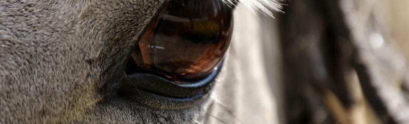 Forskning: Hester kan få magesår av musikk eller radio i stallen